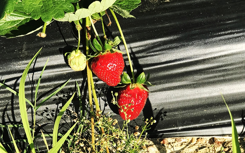 strawberries still on vine