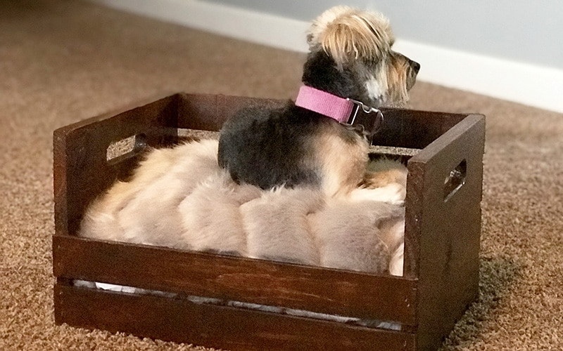 my dog in her new dog bed