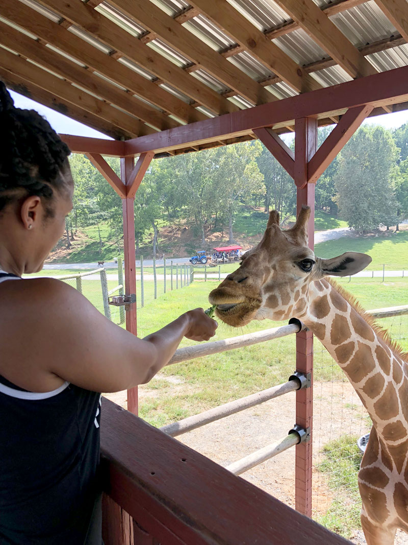 feeding giraffe at virginia safari park