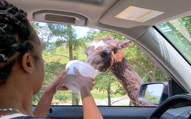 feeding llama at safari park